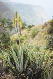 Planta amarilla floreciente de Vera del áloe delante de un valle fértil imágenes de archivo libres de regalías