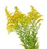Planta amarilla oscura Foto de archivo libre de regalías