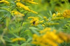 Planta amarilla oscura (canadensis de la solidago) con la abeja Foto de archivo