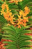 Planta anaranjada de la orquídea del color Foto de archivo libre de regalías