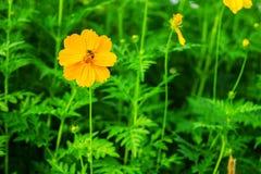 Planta anaranjada del sulphureus del cosmos y una abeja en un campo de flor Foto de archivo