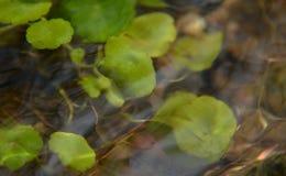 Planta aquática Foto de Stock Royalty Free