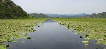 Planta aquática no lago Skadar montenegro fotos de stock royalty free