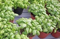planta aromática da manjericão nos potenciômetros fotografia de stock royalty free