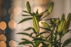 Planta asiática de la flor del lirio imágenes de archivo libres de regalías