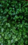 Planta asiatica de Centella Fotos de archivo