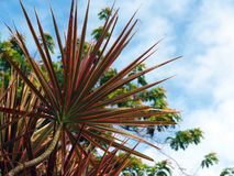 Planta australásia do grande Cordyline do rosa com o céu azul no Suriname Ámérica do Sul imagem de stock