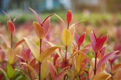 Planta australiana de la cereza del cepillo imagen de archivo