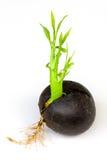 Planta av den Cerbera odollumen Gaertn Royaltyfria Foton