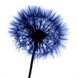 Planta azul aislada en blanco Fotos de archivo libres de regalías