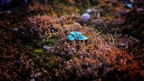 A planta azul cresce acima do solo Fotografia de Stock Royalty Free