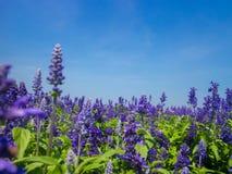 Planta azul de Salvia Foto de Stock