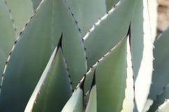 Planta azul 5 del agavo Imágenes de archivo libres de regalías