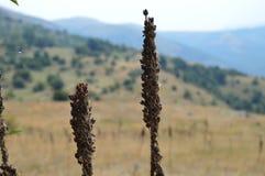 Planta 'baturica' en la montaña Foto de archivo libre de regalías