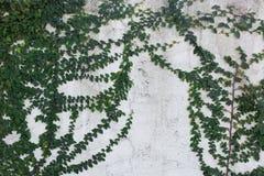 Planta blanca de la hiedra del verde de la pared Fotografía de archivo libre de regalías