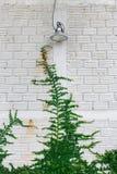 Planta blanca de la hiedra del verde de la pared Foto de archivo libre de regalías