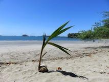 Planta Boca Chica Panama del coco fotografía de archivo libre de regalías