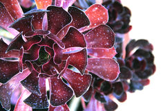 Planta bonita (Aeonium arboreum atropurpureum). Garden plantsa picture of a flower-shaped plant Royalty Free Stock Images