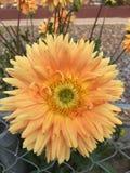 Planta bonita de Dahlia Flower no jardim Imagem de Stock
