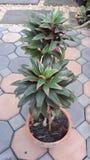 Planta bonita do Cordyline Foto de Stock Royalty Free
