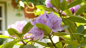 Planta bonita do gerânio cor-de-rosa em um jardim público o botão balança no vento 4K filme