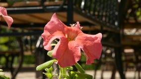 Planta bonita do gerânio cor-de-rosa em um jardim público o botão balança no vento 4K video estoque
