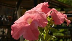 Planta bonita do gerânio cor-de-rosa em um jardim público o botão balança no vento 4K vídeos de arquivo