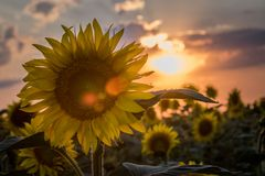 Planta bonita do girassol no por do sol Imagem de Stock Royalty Free