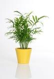 Planta bonita em um potenciômetro amarelo fotos de stock royalty free