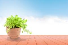 Planta bonita no potenciômetro no céu azul para o fundo Imagens de Stock Royalty Free