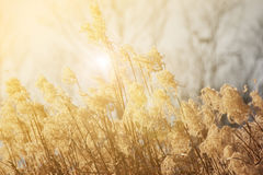 Planta borrosa y suave de las flores de la hierba seca en llamarada ligera Fotos de archivo
