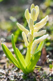 Planta branca do jacinto no botão Fotografia de Stock Royalty Free