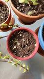 A planta brota no potenciômetro Imagem de Stock Royalty Free