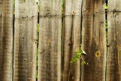 Planta brotada a través de la cerca de madera del al imágenes de archivo libres de regalías