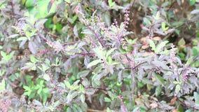 Planta caliente de la albahaca (lugar sagrado del Ocimum) metrajes
