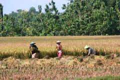 Planta campos del arroz Foto de archivo libre de regalías