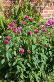 Planta carmesí del beebalm o de la bergamota Fotografía de archivo libre de regalías