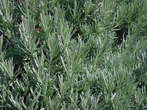 Planta carnuda 3 Imagens de Stock