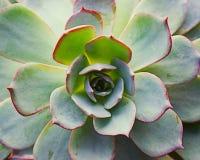 Planta carnuda Foto de Stock