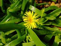 Planta carnuda amarela nas folhas Imagens de Stock Royalty Free
