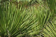 Planta carnuda com folhas pontudo Imagens de Stock Royalty Free