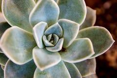 Planta carnuda cor-de-rosa da roseta do deserto Foto de Stock