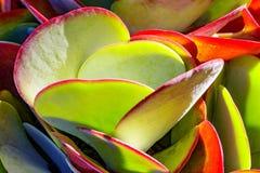 Planta carnuda de Jack da aleta Fotografia de Stock