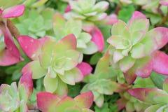 Planta carnuda do Aeonium nas folhas do vermelho do rosa do potenciômetro imagens de stock royalty free