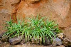 Planta carnuda do aloés Imagem de Stock