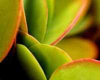 Planta carnuda do Flapjack Imagem de Stock Royalty Free