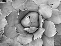 Planta carnuda do ponto do cacto Imagens de Stock