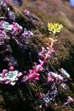 Planta carnuda em uma rocha Foto de Stock Royalty Free
