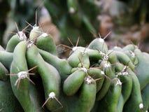 Planta carnuda espinhoso Imagem de Stock Royalty Free