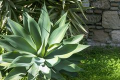 A planta carnuda grossa verde sae da agave Agave Djengola Roseta do close-up carnudo das folhas nos raios do sol brilhante contra foto de stock royalty free